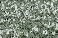 Cerastium tomentosum Snow in Summer - Light gray foliage is covered with fine hair, giving it a fuzzy appearance. This plant forms into a dense carpet on the ground and is an excellent lawn replacement for drier climates. White flowers top this gray carpet in summer and make a beautiful show of color. Will also work nicely in a rock garden or over a retaining wall.