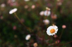 Daisy on the peak of Mt. Prau #Dieng #Hills #flower #daisy #TeletubiesHills