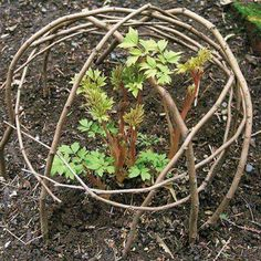 Willow twig dome for young plants