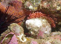 Snail (triton shell) laying eggs #marineexplorer