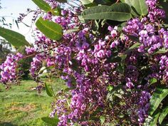 Hardenbergia violacea, ou glycine australienne : une grimpante originale ! Nos conseils de plantation et de culture.