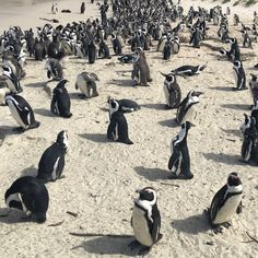 Boulders Beach Boulder Beach, Cape Town, Bouldering, South Africa, Animals, Animales, Animaux, Animal, Animais