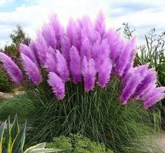 Purple+Cortaderia+Grass+Seed+500+Seeds