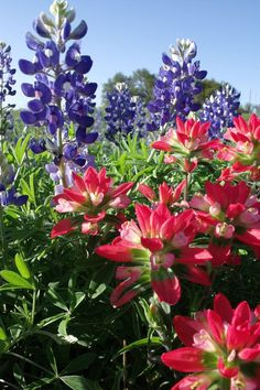 March 2017 - Striking blooms of Texas bluebonnet and Texas paintbrush at Guadalupe River State Park. Photo: Craig Hensley
