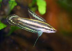 Bintan licorice gourami does not like busy tanks but a beautiful fish!