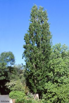 Populus nigra 'Italica' is hardy in zones - and appreciates full sun. The Lombardy poplar is drought tolerant, and will reach heights of up to 50 feet and spread up to 10 feet. Plant this poplar in moist, well-drained soil. Wind Break, Fast Growing Trees, Specimen Trees, How To Attract Birds, Fence Landscaping, Woodland Garden, Garden Trees, Trees And Shrubs, Grow Taller