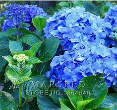 Aliexpress.com: Sprzedam Marseed 100% Natrual Rzadkie Nasiona kwiatów 10 szt Niebieski Hortensja Flower Gardening Flower Nasiona Roślin MAS049 Sementes wewnątrz nasion kwiatowych wiarygodnych dostawców Marseed