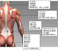 筋トレ大学:各部筋肉の名称(体幹部の筋肉:後側) Gross Anatomy, Human Anatomy, Health Diet, Health Fitness, Tummy Workout, Body Makeup, Physical Therapy, Face And Body, Human Body
