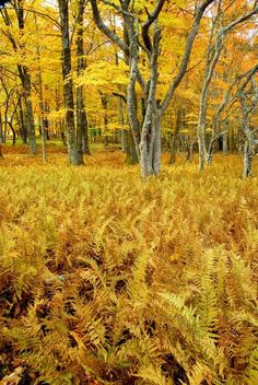 West Virginia Department of Commerce Fall Foliage: Canaan Valley State Park