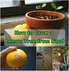 How to grow a lemon tree from