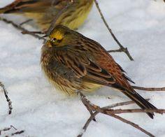 Alabama Bird Yellowhammer