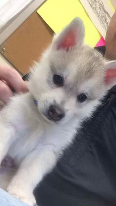 My old Alaskan Klee Kai puppy Cute Little Animals, Adorable Animals, Animals Beautiful, Animal Babies, Fur Babies, Baby Animals, Cute Puppies, Dogs And Puppies, Cute Dogs