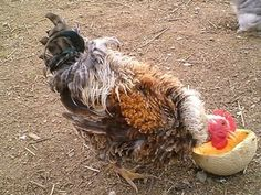 Frizzle feathered fowl can be traced as far back as the from Africa to the Philippines. Frizzle Chickens, Fancy Chickens, Hobby Farms, Exotic, Creatures, Backyard, Pets, Philippines, Feathers