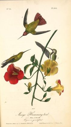 Mango Humming bird. 1. 2. Males. 3. Female. (Bignonia grandifolia).
