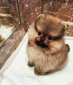 Everything we all enjoy about the Playfull Pomeranian Puppy More About Cute Pomeranian Dogs Spitz Pomeranian, Cute Pomeranian, Teacup Chihuahua, Pomeranians, Cute Funny Animals, Cute Baby Animals, Animals And Pets, Cute Puppies, Cute Dogs
