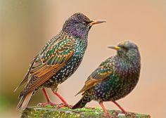 Starling, the birds of a murmuration
