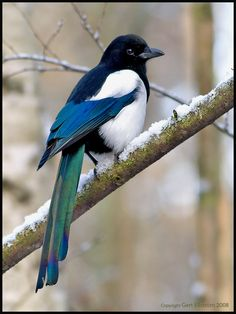 The European Magpie is an infamous thief known to steal shiny objects such as gold and jewels. It is also considered one of the smartest animals on the planet and is the only non-mammal able to recognize itself in a mirror