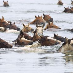 Attend the Chincoteague Annual Pony Swim~next time I don't want to miss it by just hours.
