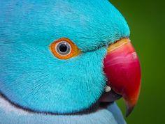 Parakeet Indian Ringneck Blue Male Birds Pet Birds Parrot Bird