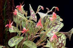 Miniature-orchid / Micro-orquidea: Lepanthes barbelifera