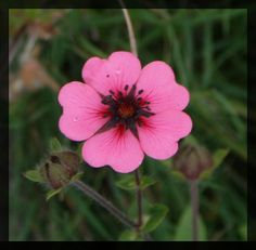 Perfect Flower for Valentine's Day - Heart Shaped Pink Petals by garyclicks, via Flickr-