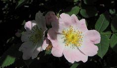 Hunds Rose Bluete hellrosa Rosa canina