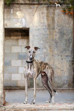 Ziggy Greyhound Brisbane