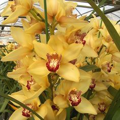 """Orchid flowers - Cymbidium """"pine clash"""".  You need to find a place to grow your orchid. But before you do, consider the plant's requirements."""