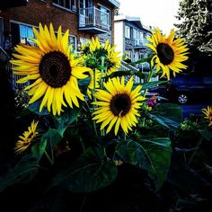 Beautifying the neighbourhood one sunflower at a time! That's me trying to motivate you guys to plant a front lawn garden Is it working? #verticalfarming #urbanfarming #organicfarming #food #agriculture #urbangardenersrep #growsomethinggreen #epicgardening #urbanorganicgardener #gardeningtips #finegardening #urban_farming #gardening #summer #healthy #plantbased #butterfly #followme #Indoorgardening #instagardener_feature #nature #life #beautiful #instagram #montreal #gardener  #gardens…