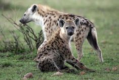 12 Wild Facts About Hyenas | Mental Floss