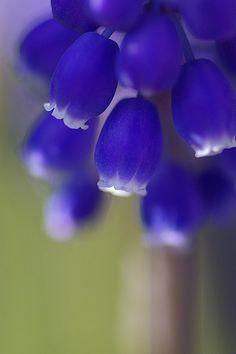 blue bells