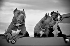 3 Pitbulls in Black and White