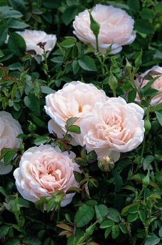 Lochinvar. This is a scots rose hybrid said to be repeat flowering.