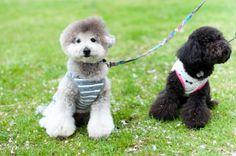 w/black toy poodle