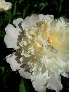 Pretty Peony.  Will be taking many more pictures this week!