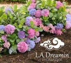 Dreamin TM Mophead Hydrangea Hydrangea macrophylla L. Dreamin' Your hydrangea dreams come true! Dreamin' blooms blue, pink and everything in between — at the same time, on the same plant. Hydrangea Macrophylla, Blue Hydrangea, Hydrangeas, Smooth Hydrangea, All Plants, Live Plants, Plant Illustration, Backyard Landscaping, Gardens