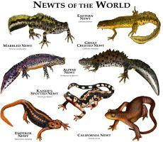 Newts of the World by rogerdhall