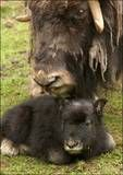 Musk ox and baby.