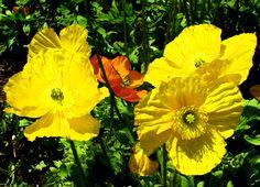 California Poppies -- Christine B. © 2008