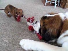 St. Bernard vs Miniature #dachshund XVI - The Tug of War - YouTube Bet I know who wins!