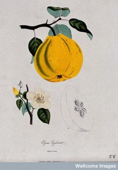 Quince (Cydonia oblonga): fruit, flowers and sectioned fruit