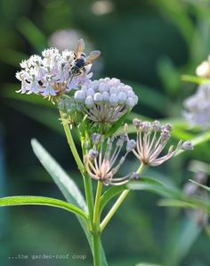 The Beautiful Blooms of 'ice ballet' swamp milkweed attract many pollinators each summer.