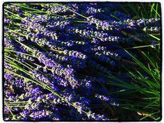 fresh lavender cutted for distillation