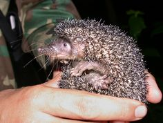 Tenrecs from Madagascar - who also give birth to more young per litter than any other mammal on earth (avg. Wikipedia Images, Virtual Pet, Weird Creatures, Creature Feature, Otters, Mammals, Wildlife, Hedgehogs, Madagascar