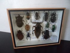 Taxidermy 12 Real Mounted Tropical Insects Boxed by amazinginsects