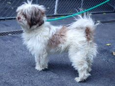 SAFE --- SUPER URGENT - 10/20/14 Manhattan Center   My name is SINAI. My Animal ID # is A1017459. I am a male white and brown shih tzu mix. The shelter thinks I am about 2 YEARS   I came in the shelter as a STRAY on 10/14/2014 from NY 10451, owner surrender reason stated was STRAY.    Main thread: https://www.facebook.com/photo.php?fbid=888124624533751