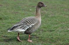 Pink footed Goose (Anser brachyrhynchus)