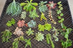 20 Succulent Cutting (15 Variety) Collection/Starer kit/Wall arrangements/dishes