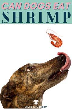 The short answer is yes, it's safe for most dogs to eat shrimp in moderation.  But there are some things that you'll want to consider before feeding this to your dog. #LoveYoueDog #CanDogsEatShrimp #DogHealth #DogFood #WahtHumanFoodsCanDogsEat #DogEatingShellFish #DogSafety Dog Information, Dog Safety, Can Dogs Eat, Dog Eating, Fun Activities, Dog Food Recipes, Your Dog, Shrimp, Puppies
