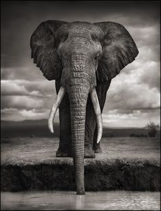 Elephant Drinking, Amboseli, 2007. Killed by Poachers, 2009. Photograph Nick Brandt.  Africa is Africa because of the animals there.  We can no longer take their presence for granted. At the current rate of destruction, by the next generation, they will be gone. Imagine a world where very soon, you and future generations are only able to see elephants and lions in the sad, drab confines of a zoo. Learn more : www.biglife.org